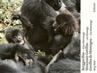 Jörg Hess, Jörg Hess, Jörg Fotograf Hess - Berggorillas / Gorilles de montagne / Mountain Gorillas