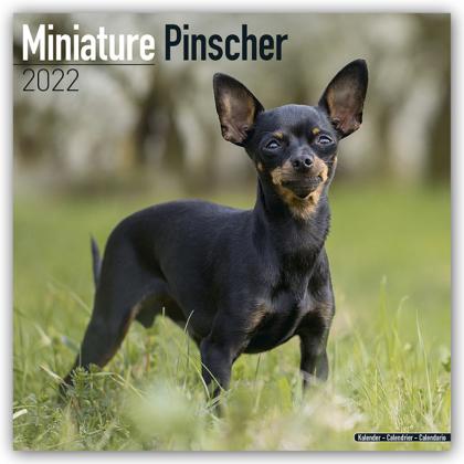 Miniature Pinscher - Zwergpinscher 2022 - 16-Monatskalender