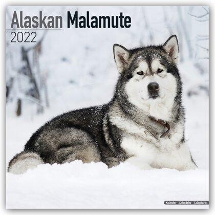 Alaskan Malamute 2022 - 16-Monatskalender