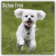 Bichon Frisé - Gelockter Bichon 2022 - 16-Monatskalender